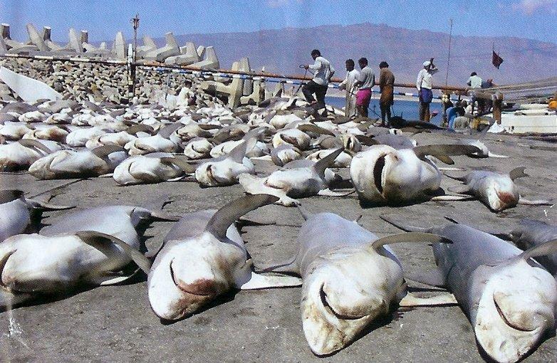Shark_finningmany