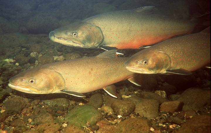 Spawning_bull_trout